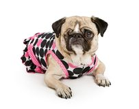 Pug dog with one eye in a polka dot dress Stock Images