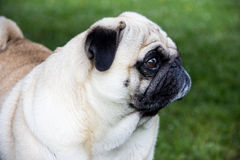 Pug dog outdoor animal park breed pet Royalty Free Stock Photography