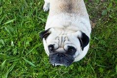 Pug dog outdoor nice funny pet Stock Image