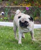 Pug dog outdoor shot pet Stock Images