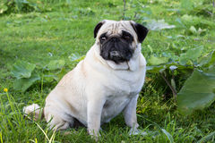 Pug dog outdoor shot pet Royalty Free Stock Photography