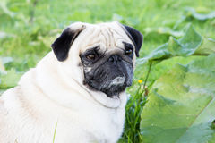 Pug dog outdoor shot pet Royalty Free Stock Images