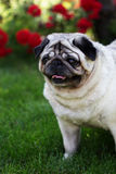 A pug dog outdoors in a garden Royalty Free Stock Images