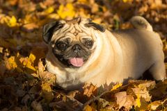 Pug dog in a park, autumn royalty free stock images