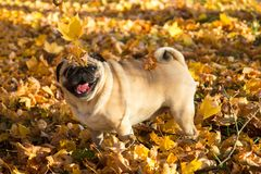 Pug dog in a park, autumn royalty free stock image