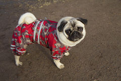 Pug. Royalty Free Stock Photo