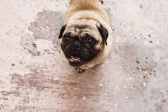 Pug dog Royalty Free Stock Images
