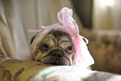 Pug dog with a pink bow on her head Stock Photography