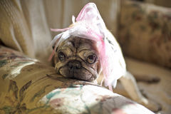 Pug dog with a pink bow on her head. Sad in a chair Stock Images