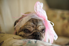 Pug dog with a pink bow on her head Royalty Free Stock Image