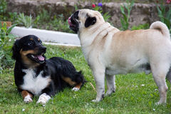Pug dog play domestic dogs friends Royalty Free Stock Image