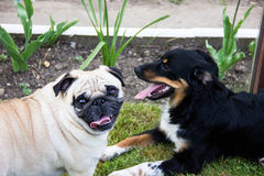 Pug dog play domestic dogs friends. Pug dog play outdoor playing dogs royalty free stock images