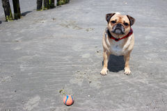Pug Dog playing on a beach Stock Photography