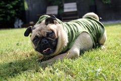 Pug Dog playing in a garden Stock Photos