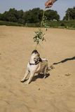 Pug Dog playing with a man on a sandy beach near the river. Stock Photography