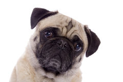 Pug dog portrait Stock Images