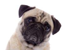 Pug dog portrait. Portrait of a fawn colored Pug dog Stock Images