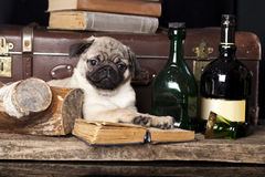 Pug-dog Stock Images