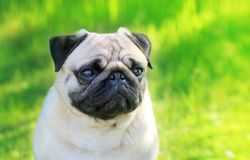 Pug dog portrait purebred  on a blurred background of gr Stock Photo