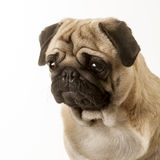 Pug dog. Portrait of a pug dog in the studio Royalty Free Stock Photography