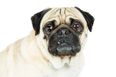 Pug Dog Portrait Tooth Out Royalty Free Stock Images