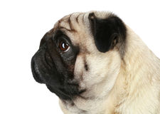 Pug dog profile. Pug dog. Profile portrait on a white background Royalty Free Stock Images