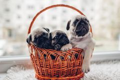 Pug dog puppies sitting in basket. Little puppies having fun. Breeding dogs stock photography