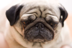 Pug dog puppy. Close-up shot Stock Photography