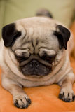 Pug dog puppy. Close-up shot Stock Photo
