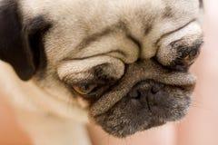 Pug dog puppy. Close-up shot Stock Image
