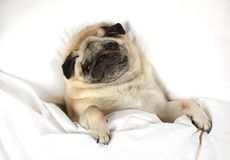Pug dog resting in a bed Royalty Free Stock Photography