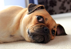 Pug dog resting indoors. Cute pug cross dog resting indoors on carpet Stock Photography