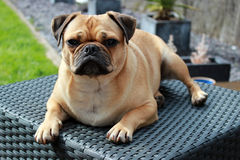 Pug dog resting outdoors. Cute pug cross dog resting on garden furniture stock images