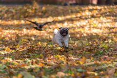 Pug Dog is Running on autumn Leaves Ground. Open Mouth. Royalty Free Stock Photography