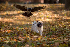 Pug Dog is Running on autumn Leaves Ground. Open Mouth. Crow in Royalty Free Stock Photo