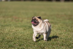 Pug Dog Is Running. Happy Face. Open Mouth. Tongue Out. Pug Dog Is Running. Happy Face. Open Mouth. Tongue Out Stock Photo