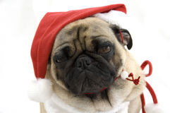 Pug dog in Santa hat Royalty Free Stock Photo