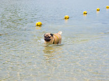 Pug dog in the sea Royalty Free Stock Photo