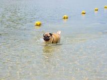 Pug dog in the sea. Pug dog walk in the sea Royalty Free Stock Photo