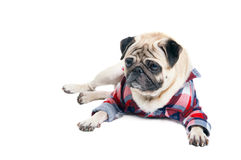 Pug dog in a shirt royalty free stock photography