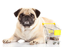 Pug dog shopping trolly isolated on white background. shopper. Pet business concept shop domestic royalty free stock image