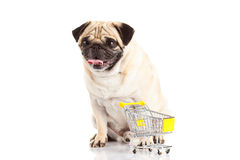 Pug dog shopping trolly isolated on white background. shopper. Pet domestic animal shop business concept no monea big eyes royalty free stock photography