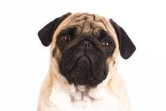 The pug dog sits and looks directly into the camera. Sad big eye. The pug dog sits and looks directly into camera. Sad big eyes stock photos