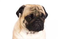 The pug dog sits and looks with sad big eyes. The pug dog sits and looks directly into camera. Sad big eyes Stock Photography