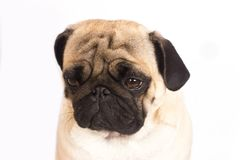 The pug dog sits and looks with sad big eyes. The pug dog sits and looks with the sad big eyes Royalty Free Stock Photography