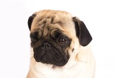 The pug dog sits and looks with sad big eyes. The pug dog sits and looks with the sad big eyes Royalty Free Stock Images
