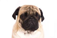 The pug dog sits and looks with sad big eyes. The pug dog sits and looks with the sad big eyes Stock Image