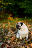 Pug dog sitting amongst autumn leaves Royalty Free Stock Images