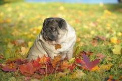 Pug dog Stock Photography