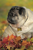 Pug dog Royalty Free Stock Photography